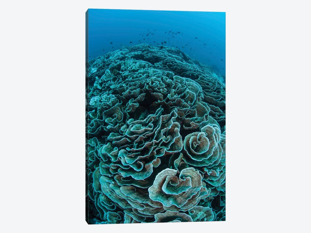 Corals Are Beginning To Bleach On A Reef In Indonesia II by Ethan Daniels 1-piece Canvas Art Print