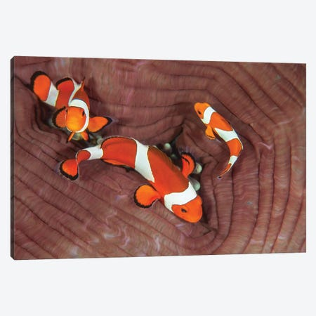 False Clownfish Swimming Around Their Host Anemone Canvas Print #TRK2060} by Ethan Daniels Canvas Wall Art