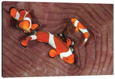 False Clownfish Swimming Around Their Host Anemone Canvas Art Print