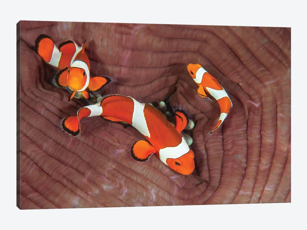 False Clownfish Swimming Around Their Host Anemone by Ethan Daniels 1-piece Canvas Print