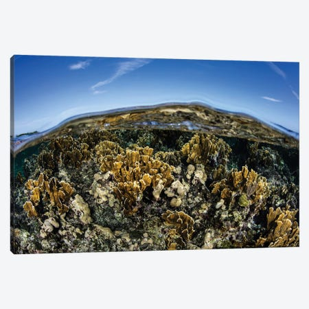 Fire Corals Grow Along A Reef Crest In The Caribbean Sea Canvas Print #TRK2061} by Ethan Daniels Canvas Art