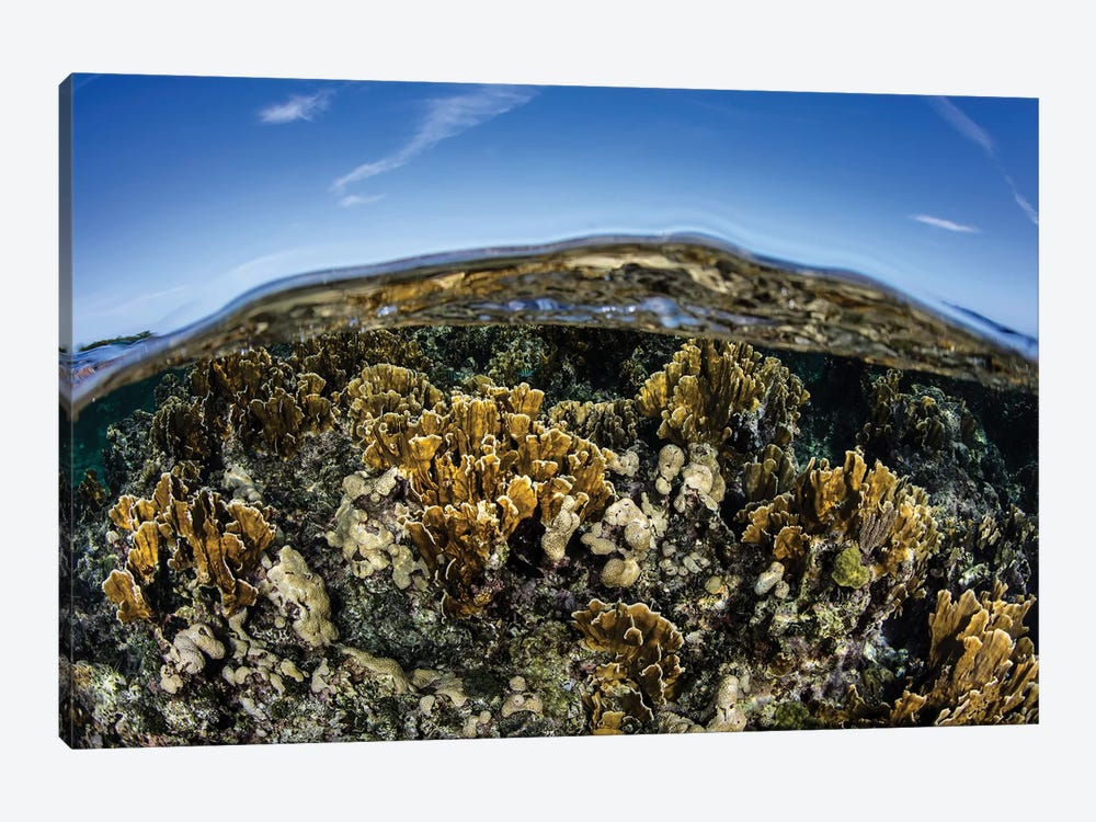 Fire Corals Grow Along A Reef Crest In The Caribbean Sea by Ethan Daniels 1-piece Canvas Art