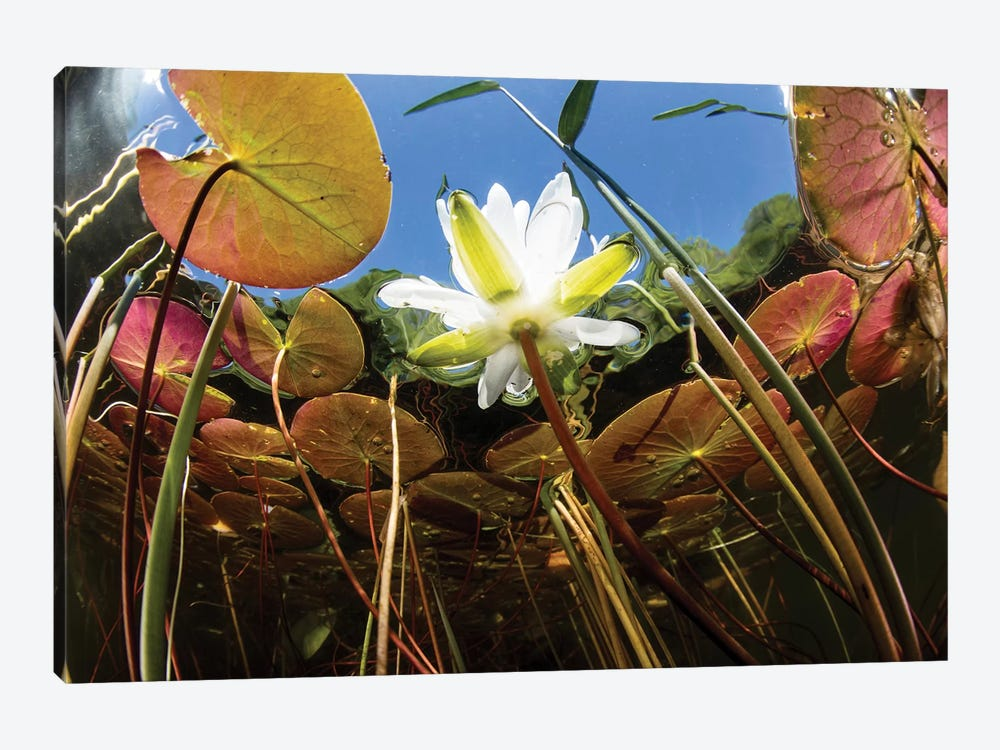 Flowering Lily Pads Grow Along The Edge Of A Freshwater Lake In New England by Ethan Daniels 1-piece Canvas Art Print