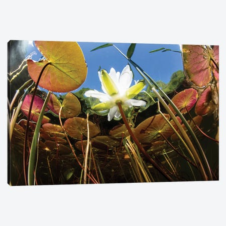 Flowering Lily Pads Grow Along The Edge Of A Freshwater Lake In New England Canvas Print #TRK2062} by Ethan Daniels Canvas Artwork