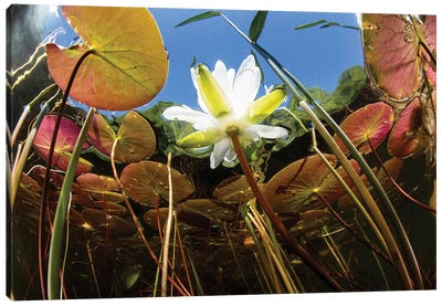 Flowering Lily Pads Grow Along The Edge Of A Freshwater Lake In New England Canvas Art Print