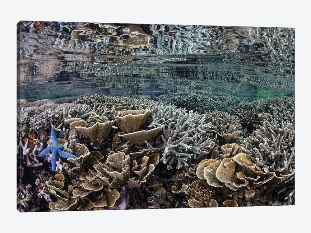 Fragile Corals Grow In Shallow Water In Komodo National Park I by Ethan Daniels 1-piece Canvas Print