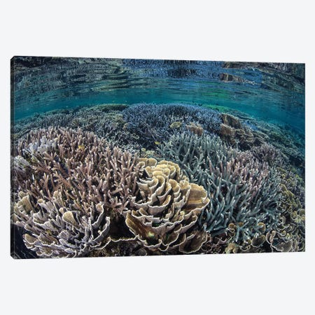 Fragile Corals Grow In Shallow Water In Komodo National Park II Canvas Print #TRK2065} by Ethan Daniels Art Print