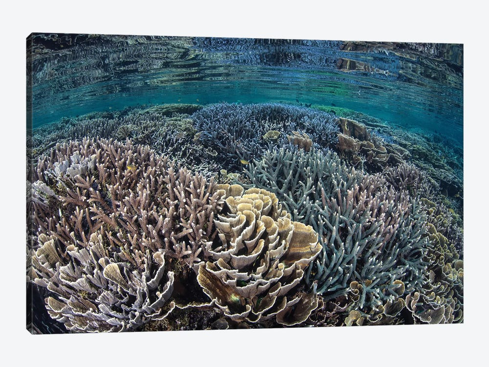 Fragile Corals Grow In Shallow Water In Komodo National Park II by Ethan Daniels 1-piece Canvas Artwork