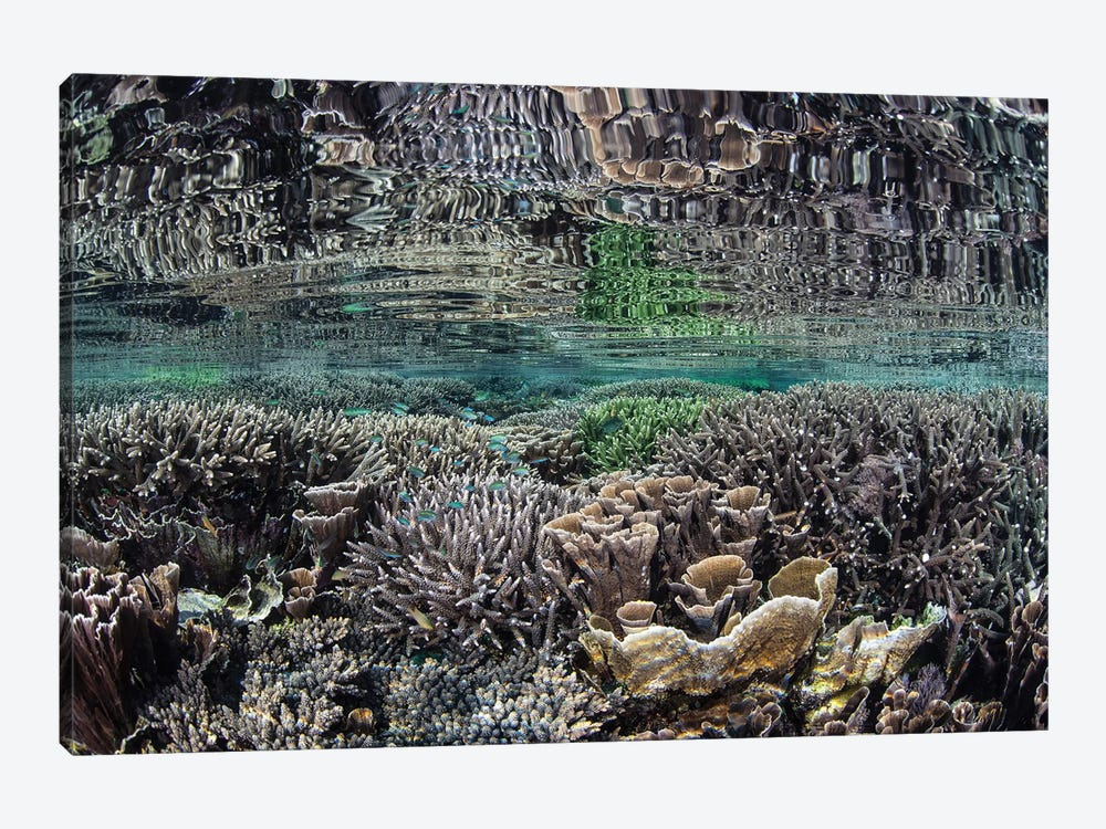 Fragile Corals Grow In Shallow Water In Komodo National Park IV by Ethan Daniels 1-piece Canvas Artwork