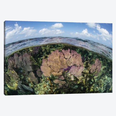Gorgonians And Reef-Building Corals Near The Blue Hole In Belize Canvas Print #TRK2068} by Ethan Daniels Canvas Wall Art