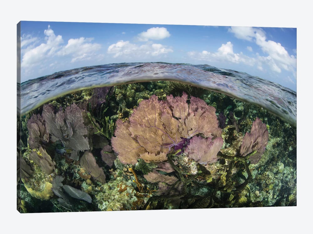 Gorgonians And Reef-Building Corals Near The Blue Hole In Belize by Ethan Daniels 1-piece Canvas Art Print