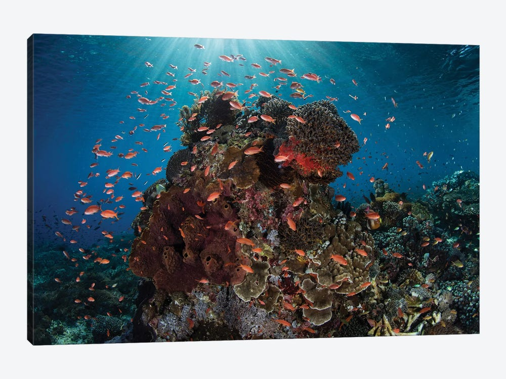 Reef Fish Swimming Above A Coral Reef In The Lesser Sunda Islands 1-piece Canvas Artwork