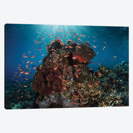 Reef Fish Swimming Above A Coral Reef In The Lesser Sunda Islands Canvas Print #TRK2069} by Ethan Daniels Canvas Artwork