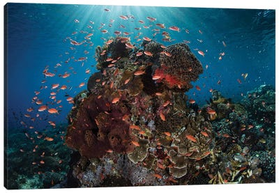 Reef Fish Swimming Above A Coral Reef In The Lesser Sunda Islands Canvas Art Print