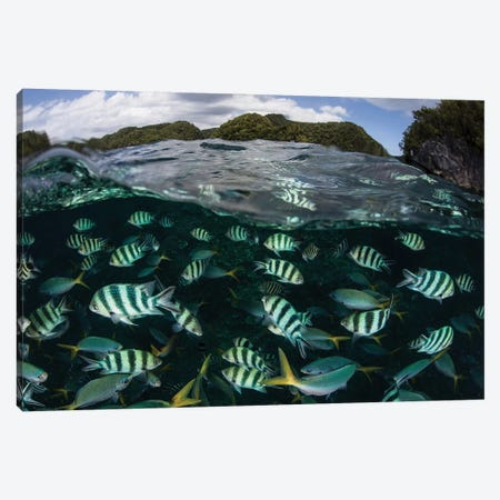 School Of Large Damselfish In Palau's Inner Lagoon Canvas Print #TRK2074} by Ethan Daniels Canvas Wall Art