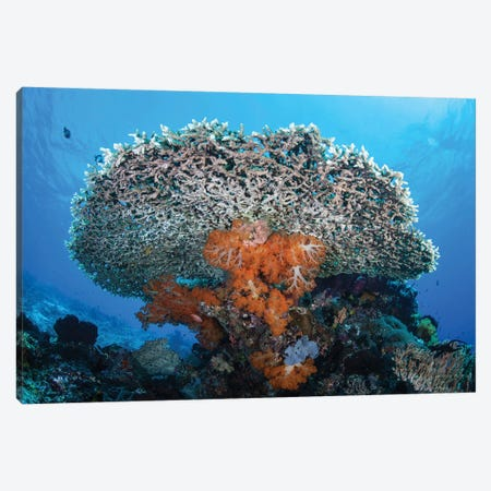 Soft Corals Grow Beneath A Large Table Coral In Indonesia Canvas Print #TRK2075} by Ethan Daniels Canvas Wall Art