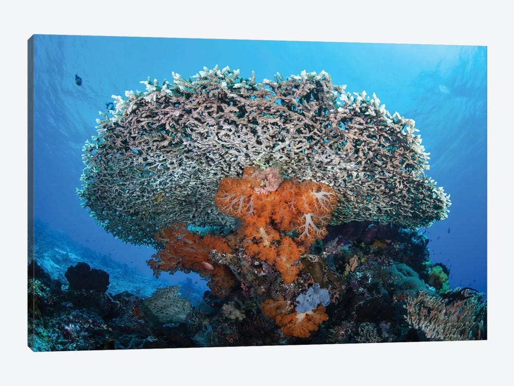 Soft Corals Grow Beneath A Large Table Coral In Indonesia by Ethan Daniels 1-piece Canvas Print
