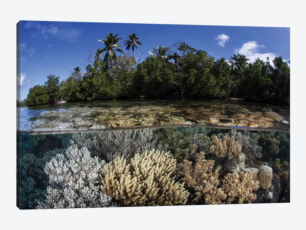 Soft Leather Corals Grow In The Shallow Waters In The Solomon Islands by Ethan Daniels 1-piece Canvas Print
