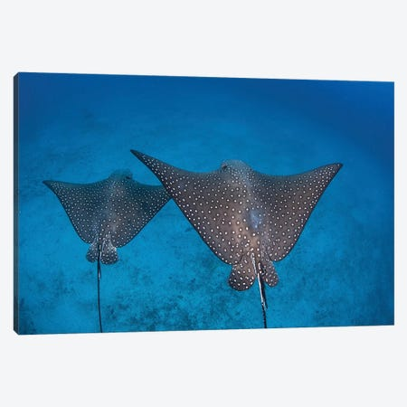 Spotted Eagle Rays Swim Over The Seafloor Near Cocos Island, Costa Rica Canvas Print #TRK2078} by Ethan Daniels Canvas Art Print