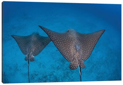 Spotted Eagle Rays Swim Over The Seafloor Near Cocos Island, Costa Rica Canvas Art Print