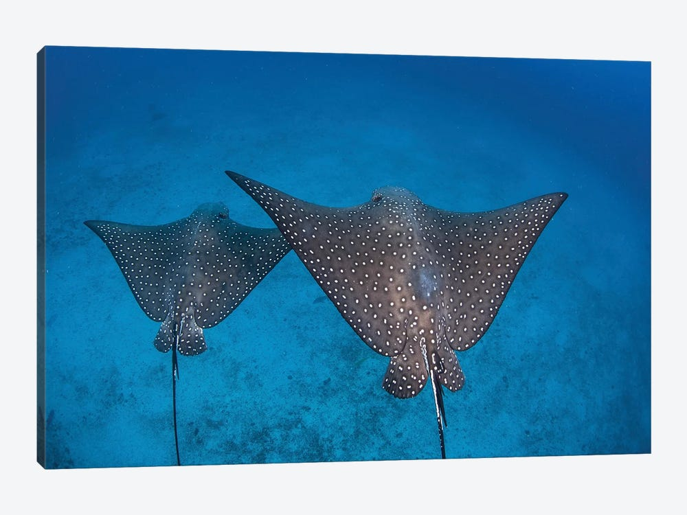 Spotted Eagle Rays Swim Over The Seafloor Near Cocos Island, Costa Rica by Ethan Daniels 1-piece Canvas Art
