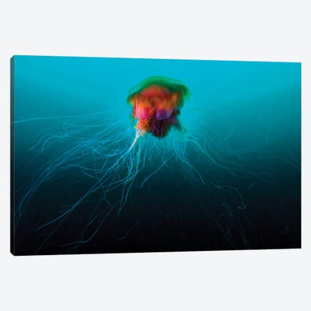 A Lion's Mane Jellyfish Rises From The Deep In Alaska I Canvas Print #TRK2081} by Jennifer Idol Canvas Wall Art