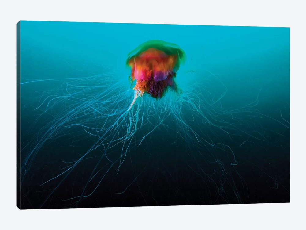 A Lion's Mane Jellyfish Rises From The Deep In Alaska I by Jennifer Idol 1-piece Canvas Wall Art