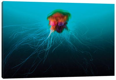 A Lion's Mane Jellyfish Rises From The Deep In Alaska I Canvas Art Print