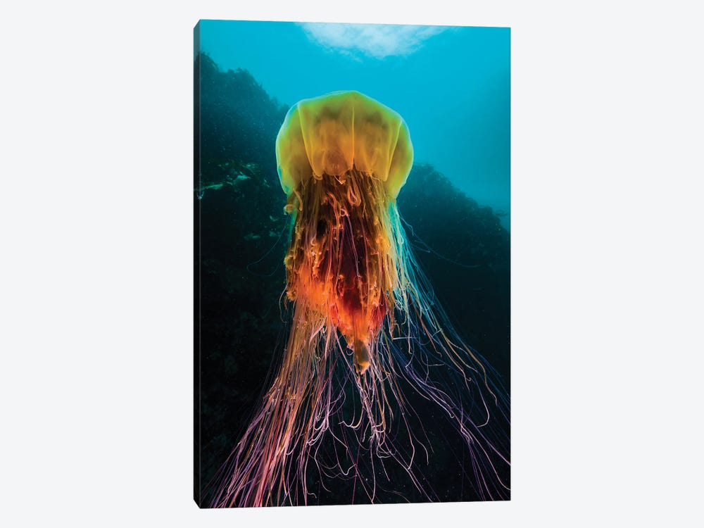 A Lion's Mane Jellyfish Rises From The Deep In Alaska II by Jennifer Idol 1-piece Canvas Art Print