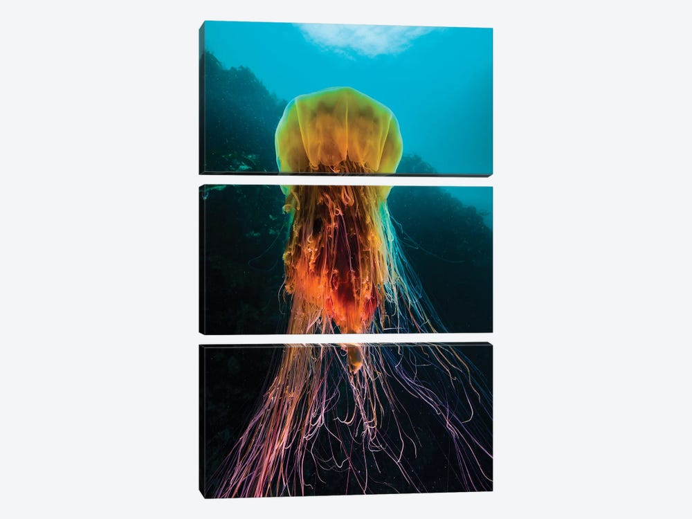 A Lion's Mane Jellyfish Rises From The Deep In Alaska II by Jennifer Idol 3-piece Canvas Print