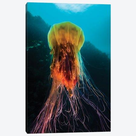 A Lion's Mane Jellyfish Rises From The Deep In Alaska II Canvas Print #TRK2082} by Jennifer Idol Canvas Art