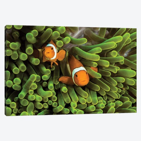 False Clown Anemonefish Hide In Their Anemone Canvas Print #TRK2088} by Jennifer Idol Canvas Wall Art