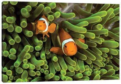 False Clown Anemonefish Hide In Their Anemone Canvas Art Print