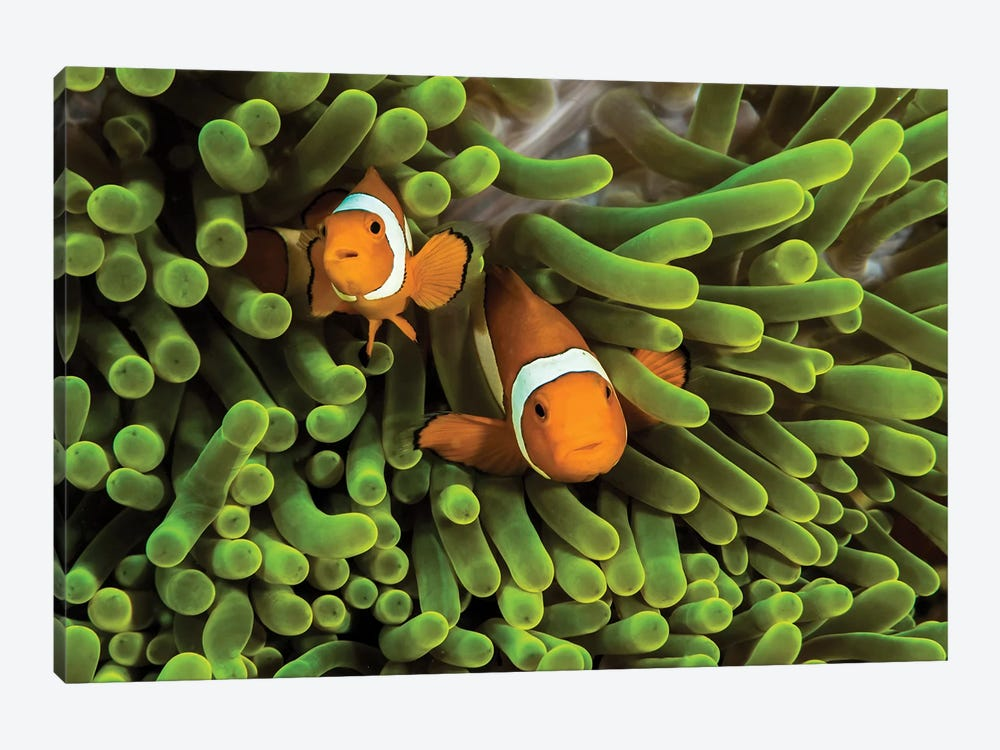 False Clown Anemonefish Hide In Their Anemone by Jennifer Idol 1-piece Canvas Print