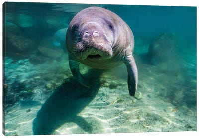 Manatee In Crystal River, Florida Canvas Art Print