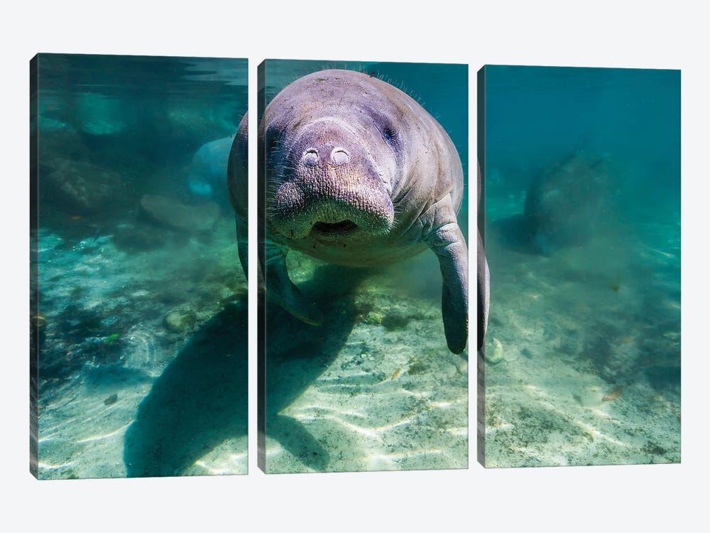 Manatee In Crystal River, Florida 3-piece Canvas Art
