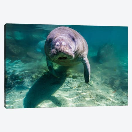 Manatee In Crystal River, Florida Canvas Print #TRK2090} by Jennifer Idol Canvas Print
