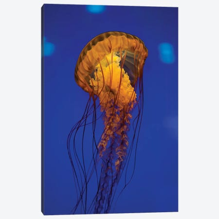 Pacific Sea Nettle Jellyfish I Canvas Print #TRK2091} by Jennifer Idol Canvas Print