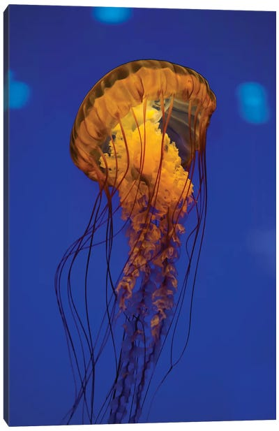 Pacific Sea Nettle Jellyfish I Canvas Art Print