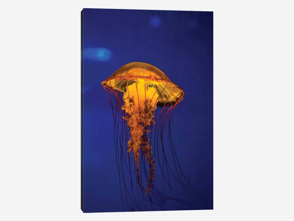 Pacific Sea Nettle Jellyfish II 1-piece Canvas Art