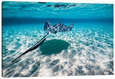 Southern Stingrays On The Sandbar In Grand Cayman, Cayman Islands I Canvas Art Print