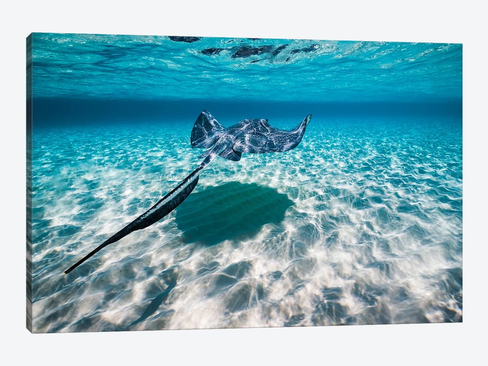 Southern Stingrays On The Sandbar In Grand Cayman, Cayman Islands I by Jennifer Idol 1-piece Canvas Artwork