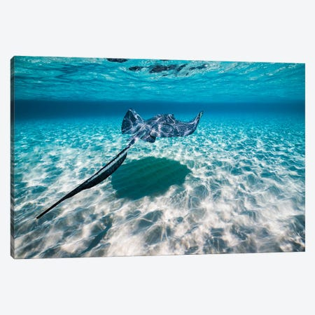 Southern Stingrays On The Sandbar In Grand Cayman, Cayman Islands I Canvas Print #TRK2094} by Jennifer Idol Canvas Art