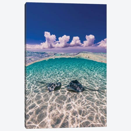 Southern Stingrays On The Sandbar In Grand Cayman, Cayman Islands II Canvas Print #TRK2095} by Jennifer Idol Canvas Art