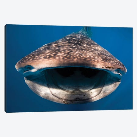 Whale Shark In Isla Mujeres, Mexico I Canvas Print #TRK2097} by Jennifer Idol Canvas Art