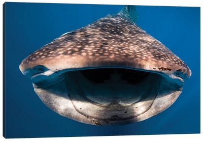Whale Shark In Isla Mujeres, Mexico I Canvas Art Print
