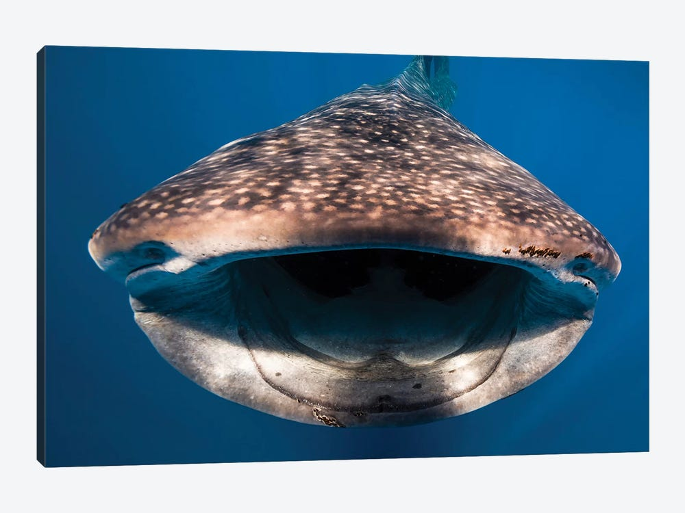 Whale Shark In Isla Mujeres, Mexico I by Jennifer Idol 1-piece Canvas Art Print