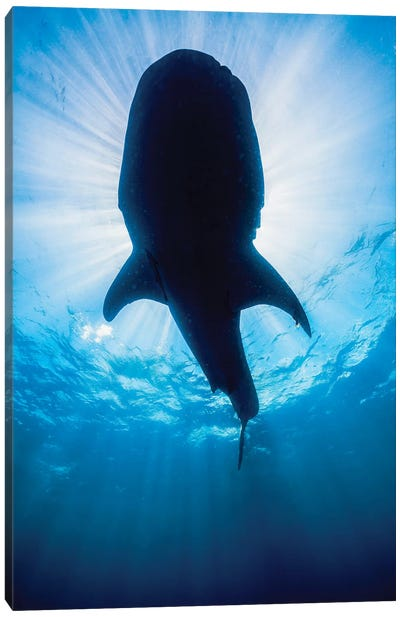 Whale Shark In Isla Mujeres, Mexico II Canvas Art Print