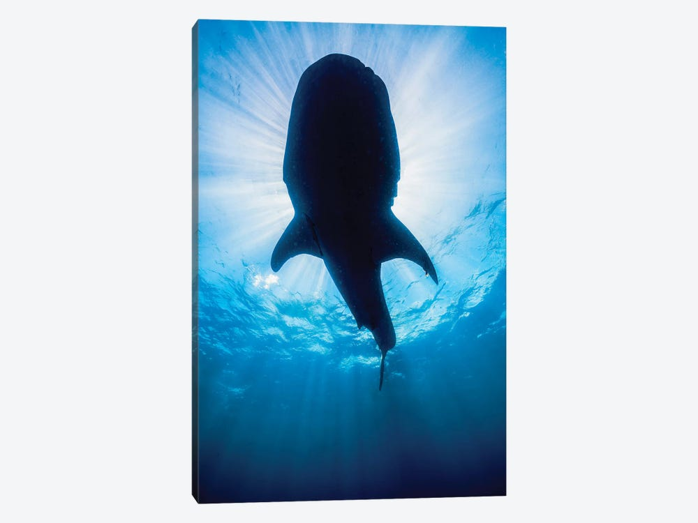 Whale Shark In Isla Mujeres, Mexico II 1-piece Canvas Art
