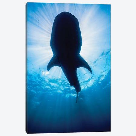 Whale Shark In Isla Mujeres, Mexico II Canvas Print #TRK2098} by Jennifer Idol Art Print